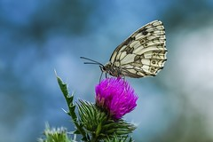 Marbled White Lady - Schachbrettdame (Claudia G. Kukulka) Tags: female butterfly insect thistle insekt schmetterling distel weiblich schachbrett melanargiagalathea marbledwhite damenbrett