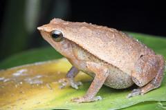 Black-spotted Sticky Frog (Abhishek T) Tags: blackspotted sticky frog frogs amphibians nature wildlife animals macro