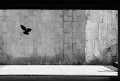 Out of the dark (mkorolkov) Tags: street city light shadow urban blackandwhite bird monochrome silhouette underground dove streetphotography walkway fujifilm xe1 xc50230