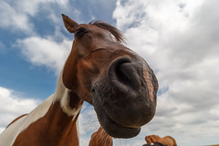 Hello, do you have anything to eat?! (LarsGerritS) Tags: pferd weitwinkel wideangle horse amrum bauernhof nase nose funny