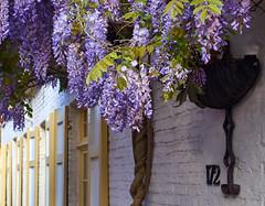 hanging wisteria in Brugge (wellingtonandsqueak) Tags: purple belgium brugge wisteria