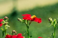 Green-Red (Jutta M. Jenning) Tags: flowers flower macro rot natur pflanze pflanzen blumen blume makro gruen blueten bluete balkonblumen elfenspiegel makrofotografie balkonblume