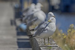 Pretty Gulls all in a row (KWPashuk) Tags: nikon d7200 nikkor70300mm lightroom nikcollection kwpashuk kevinpashuk seagull gull bird wildlife nature urbanwildlife dof depthoffield thunderbay ontario canada kaministiquia river summer outdoors