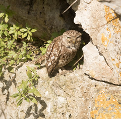 Little Owl (chitsngiggles) Tags: portlandbill nature wildlife littleowl owls owl