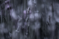 In my dreams (janet.capling) Tags: grass bokeh dreams