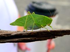 Katydid (Photo Squirrel) Tags: katydid brushcricket bug insect green stick nature brunswickmd