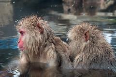 Japanese Macaques, Jigokudani Snow Monkey Park, Japan (rmk2112rmk) Tags: macaque japanesemacaque jigokudanisnowmonkeypark japan snowmonkey jigokudani bokeh hotspring onsen monkey primate dof depthoffield