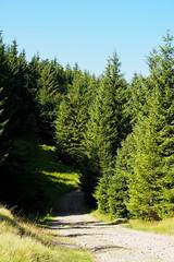 fenyves / pine forest (debreczeniemoke) Tags: nyár summer erdő forest rét meadow gutin gutinhegység gutinmountains munţiigutin munţiigutâi fa tree fenyő pine olympusem5