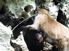 Koh Panak (Sea Kayaking), Thailand (Jan-2016) 21-107 (MistyTree Adventures) Tags: kohpanak kohpanakisland aophangnganationalpark seasia thailand phuket panasoniclumix outdoor phangngabay limestone animal monkey macaque macaquemonkey babymonkey