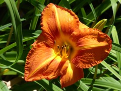In the garden (lovesdahlias 1) Tags: daylilies flowers blossoms gardens nature summer newengland