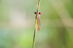 Watching You (fredMin) Tags: macro bokeh fujifilm fujinon 60mm libellule damselfly eyes nature insect xt1