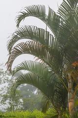 PAVAS, VALLE (Augusto Silva Otero) Tags: colombia flora naturaleza palmas pavas valle rboles