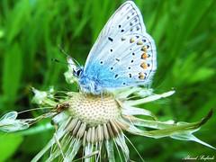 Butterfly 983 (+310000 views!) Tags: butterfly borboleta farfalla mariposa papillon schmetterling