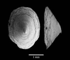 MOL_ 1660_N_youngi_2146_01_327x276.gif (MaKuriwa) Tags: mollusca gastropoda archaeogastropoda pseudococculinidae notocrater
