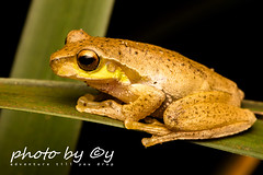 The Pearson's tree frog (Litoria pearsoniana) (peter soltys) Tags: herping petersoltys adventure photobycy australia nsw wildlife wild nature photography amazing naturephotography exitement thepearsonstreefrog litoriapearsoniana frog frogging litoria macrophotography photo