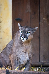 Cougar (Cloudtail the Snow Leopard) Tags: puma zoo amneville tier animal mammal sugetier katze cat feline berglwe silberlwe kuguar cougar catarmount mountain lion concolor
