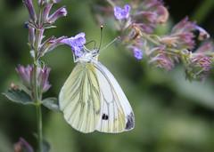 Douceur (Mariette80) Tags: piride nptas jardin