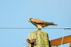 Falco Tinnunculus (kestrel) (phat5toe) Tags: kestral falcotinnunculus birds raptor prey feathers wildlife nature wigan nikon d7000 sigma150500
