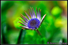 DSC_6073_cr (Broukos) Tags:   broukos greece green garden flowers purple nature magnesia closeup volos