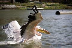A pelican again (Cloudtail the Snow Leopard) Tags: pelikan zoo karlsruhe tier animal vogel bird water swim wasservogel pelicane pelecanidae pelecanus