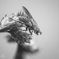 Fly (Dirk Hoffmann Fotografie) Tags: fly fliege macro nature insect insekt black bw monochrome quadrat detail pearls tau