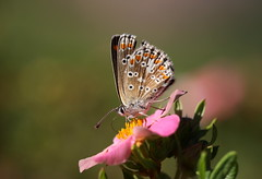 """Aricia agestis"" - bruin blauwtje (bugman11) Tags: ariciaagestis bug bugs bruinblauwtje butterfly butterflies bokeh insect insects animal animals fauna canon macro nederland thenetherlands 100mm28lmacro flower flowers flora thegalaxy"