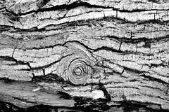 I segni del tempo (gianclaudio.curia) Tags: bianconero alberi albero blackwhite