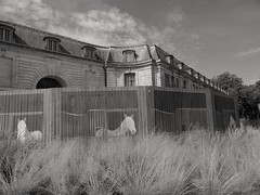 """""""Crin blanc""""  Chevaux.  Horses (alainpere407) Tags: alainpere versailles chevaux horses"""