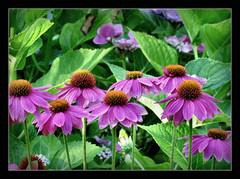 (karin_b1966) Tags: blume flower blte blossom pflanze plant garten garden natur nature 2016 echinacea sonnenhut yourbestoftoday