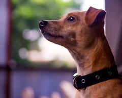 On The Job - Joaquin - 3988 (TheHouseKeeper) Tags: thehousekeeper georgemateo mateo dog canine mammal animal pet joaquin