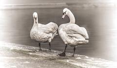 The Same.. But Different-3 (Gordon McCallum) Tags: victoriapark glasgow glasgowswestend coffeecaravan blackandwhite hintofcolor swans woodenhorse walkingthedog sony sonya6000 sony55210lens