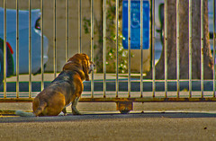 The yard cop doesn't miss a thing (suzeesusie) Tags: hdr edit canon7d dog basset bassethound animal pet outdoors yard