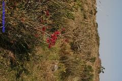 Serra do Faxinal e Canyon dos Coroados (Luiz Filipe Varella) Tags: cambar do sul canyons aparados da serra campos de cima araucarieto paisagens gachas araucaria angustifolia luiz filipe klein varella rio grande o flora brasileira floresta ombrfila mista