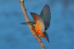 Kingfisher.....Attenborough Nature Reserve (Scuba`Steve`) Tags: