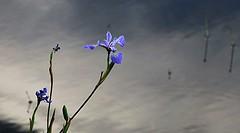 Fleur bleue, Blue Flower (francepar95) Tags: irisversicolores fleur bleue lac bordure ptales douceur bleueiris flower lake spring