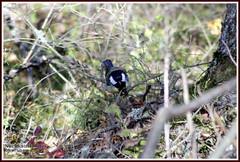 Great tit (PeepeT) Tags: thegreattit parusmajor talitiainen kalkku pirkanmaa autumn syksy tampere