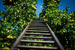 Stairway to pears (Diverse-Media.nl) Tags: diversemedianl diversemedia sonya58 alpha58 sonyalpha photography nature natureatitsbest natuur natuurfotografie pear pears tree stair stairway stairs wood hout