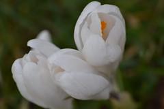 Unfurling white Crocuses (heathernewman) Tags: white plant flower whiteflower spring crocus