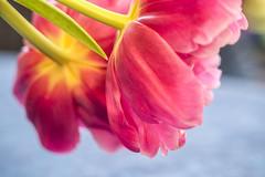 inside a tulip (RalfK61) Tags: 03 märz 2015