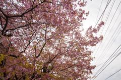 DS7_1841.jpg (d3_plus) Tags: street sea sky plant flower nature car rain japan drive spring scenery cloudy wideangle rainy  cherryblossom  sakura   shizuoka    touring  izu  kawasaki  superwideangle  kawazu          a05  kawazuzakura  1735mmf284 tamronspaf1735mmf284dildasphericalif tamronspaf1735mmf284dildaspherical d700  nikond700 tamronspaf1735mmf284dild tamronspaf1735mmf284 kawazucherryblossom tamronspaf1735mmf284dildasphericalifmodela05