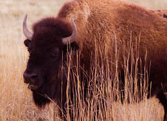 Bison (Amanda McClure) Tags: wyoming bison sweetwatercounty