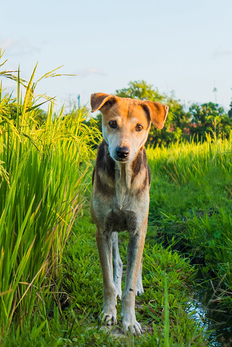 Dog roaming in the ricefields