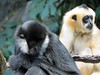 White-Cheeked Gibbons (1) (bookworm1225) Tags: zoo october 2014 minnesotazoo northerntrail tropicstrail