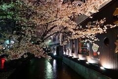 京都の夜桜 (nobuflickr) Tags: japan cherry kyoto 桜 sakura 中京区 takasegawa kiyamachi 高瀬川 京都市 20150403dsc08325