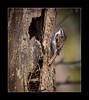 Tree creeper (tkimages2011) Tags: tree bird nest sthelens merseyside treecreeper carrmill