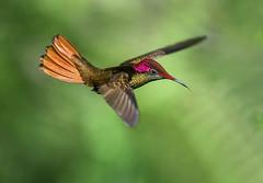 Ruby Topaz Hummingbird in flight. Yerette, Home of the Hummingbird, St Joseph, Trinidad and Tobago. (pedro lastra) Tags: nikon hummingbird trinidad d750 trinidadtobago trochilidae