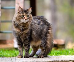 Ben enjoying outside time. (I'magrandma) Tags: she pet female cat blurry nikon feline ben fluffy her 16yearsold 55300mm d3100