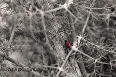 2015_04_18 Miller Knox Reg. Park_ladybug (Walt Barnes) Tags: blackandwhite bw canon eos blackwhite monotone richmond calif ladybug topaz 60d millerknox canoneos60d eos60d ebparksok topazbweffects topazblackwhiteeffects wdbones99
