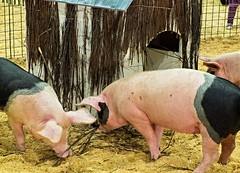 The Three Little Pigs (jimjiraffe) Tags: fairytale sticks farm bricks straw auckland pigs fujifilm threelittlepigs farmanimals eastershow fabel farmyard aucklandregion folkstory xs1 jimjiraffe fujifilmxs1