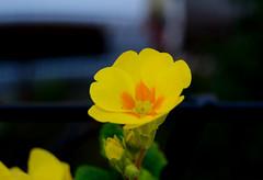 Primula (Moni.DG) Tags: flowers flower primavera nature yellow spring natura giallo multicolored primula primroses naturelovers colorfully flowerslovers